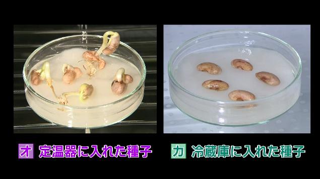 発芽 インゲン 豆